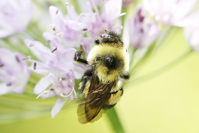 This photo provided by The Xerces Society shows a rusty patched bumblebee in Minnesota. Federal officials said January 10 that the rusty patched bumblebee has become the first bee species in the continental US to be declared endangered after suffering a dramatic population decline over the past 20 years. - AP