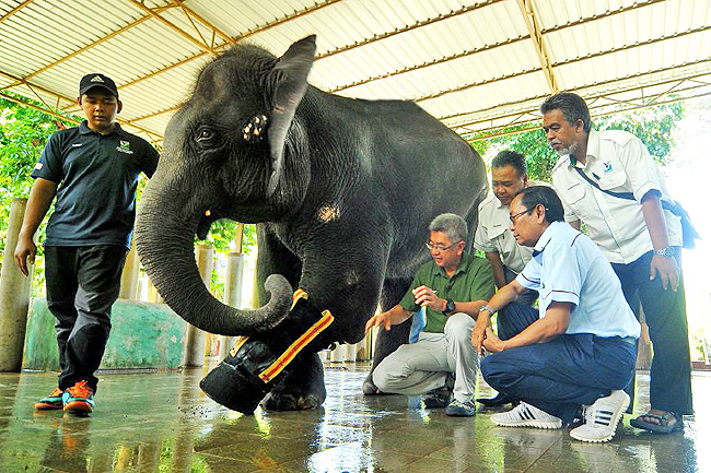 'Selendang' the elephant is fitted with a prosthetic leg sponsored by EXIM Bank. - BERNAMA