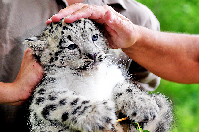 Snow Leopard Unites Conservationists Over Threatened Ecosystems