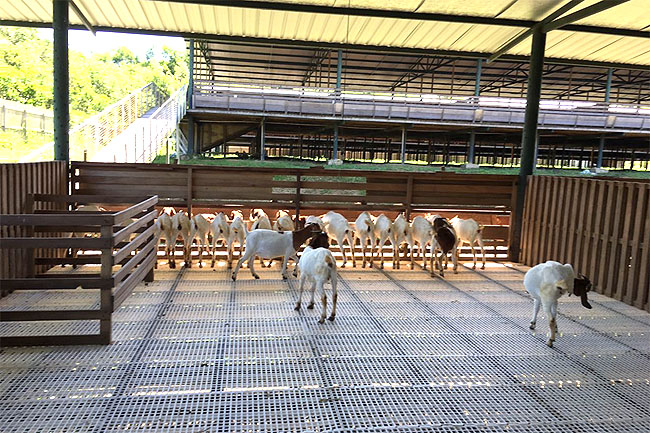 Local farm aims to boost goat, sheep meat production through Australian breeds